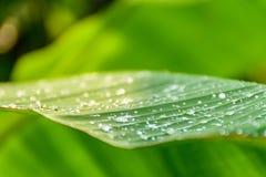 A green banana leaf Stock Image