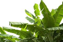 Green banana leaf , green tropical foliage texture isolated on white background of file with Clipping Path.  Stock Photo