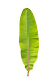 Green Banana Leaf. Green Banana Leaf Isolated On White. (Scientific name : Musa Acuminata royalty free stock photo