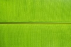 Green banana leaf. Green banana leaves use for the background Stock Images