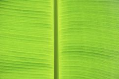 Green banana leaf Royalty Free Stock Photo