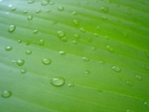 Banana leaf with water drops (3) Royalty Free Stock Photo