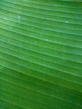 Green banana leaf natural background. Ecological healthy wallpap Stock Images