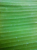 Green banana leaf natural background. Horizontal line greenery t Royalty Free Stock Images