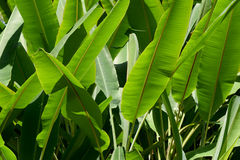 Green Banana leaf nature  park abstract background Royalty Free Stock Images