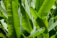 Green Banana leaf nature  park abstract background Stock Photos