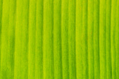 Green banana leaf Royalty Free Stock Images