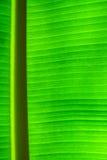 Green banana leaf texture Stock Photo
