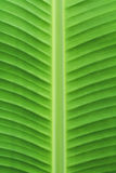 Green banana leaf texture or background Stock Image