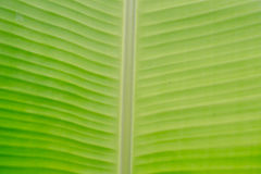 Green banana leaf texture background. Royalty Free Stock Photo