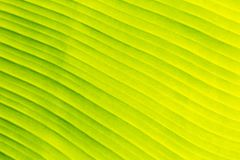 Green banana leaf texture background for website template, spring beauty, environment and ecology concept design.  Stock Images