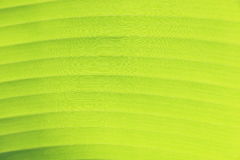 Green banana leaf texture Royalty Free Stock Image