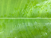 Green banana leaf texture with raindrops,Feel fresh concept Stock Photography
