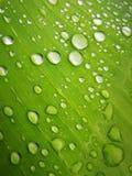 Green Banana leaf with water drop. Green Banana leaf with water drop stock photography