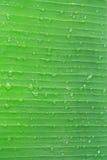 Green Banana Leaf Royalty Free Stock Image