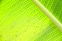 Green banana leaf with water drops Stock Photo