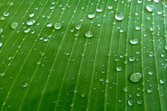 Green banana leaf with water drops Stock Image
