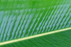 Green banana leaf it wet . Royalty Free Stock Photography