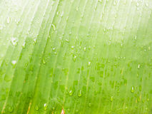 Green banana leaf and wet after rain Royalty Free Stock Photo