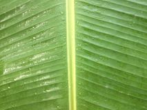 Green banana leaf is wet with rain drops. stock photography