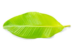 Green banana leaf Royalty Free Stock Photography