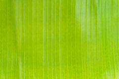 Green banana leave background. Royalty Free Stock Photo