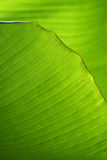 Green Banana leaves Royalty Free Stock Photography