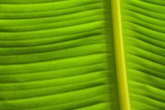 Green banana leaves. Stock Photo