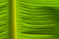 Green banana leaves. Royalty Free Stock Images