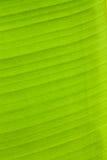 Green banana leaves. Royalty Free Stock Images