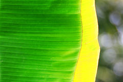 Green banana leaves Stock Photography