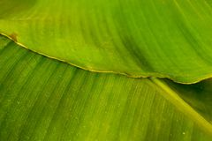 Green banana leaves. Back background. stock images