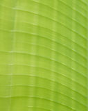 Green Banana leaves background abstract Stock Photography