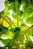 Green banana leaves of a banana tree Royalty Free Stock Photo