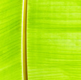Green Banana leaves Stock Images