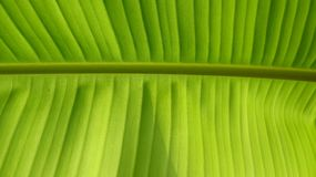 Green banana leaves, the lines are clearly visible royalty free stock photography