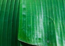Green banana leaves Stock Photo
