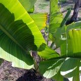 Green banana leaves Protaras Cyprus Royalty Free Stock Image