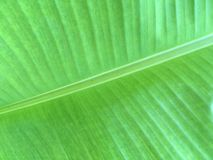 Green banana leaves texture Royalty Free Stock Photo