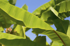 Green banana leaves on tree. Green banana leaves on the tree against the blue sky Stock Image