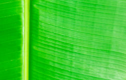 Green banana leaves use for the background Royalty Free Stock Photos