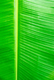 Green banana leaves use for the background Stock Photography