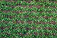 Green Banana plantation, Cairns Stock Photo