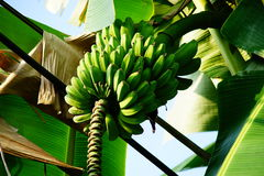 The Green Banana. There is a Green Banana that still not matured for eat Royalty Free Stock Images