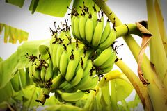 Green Banana Tree Royalty Free Stock Photo