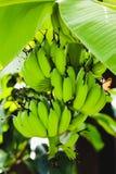 Green banana on the banana tree Stock Photography