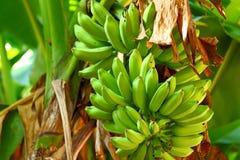 Green banana tree Royalty Free Stock Photography