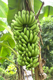 Green banana on a tree in forest. On green background Stock Photo