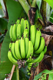 Green banana on a tree in forest Royalty Free Stock Images
