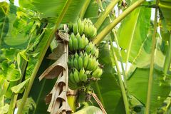 Green banana tree and fruits stock photos